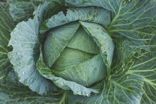 Photograph of a cabbage without chocolate