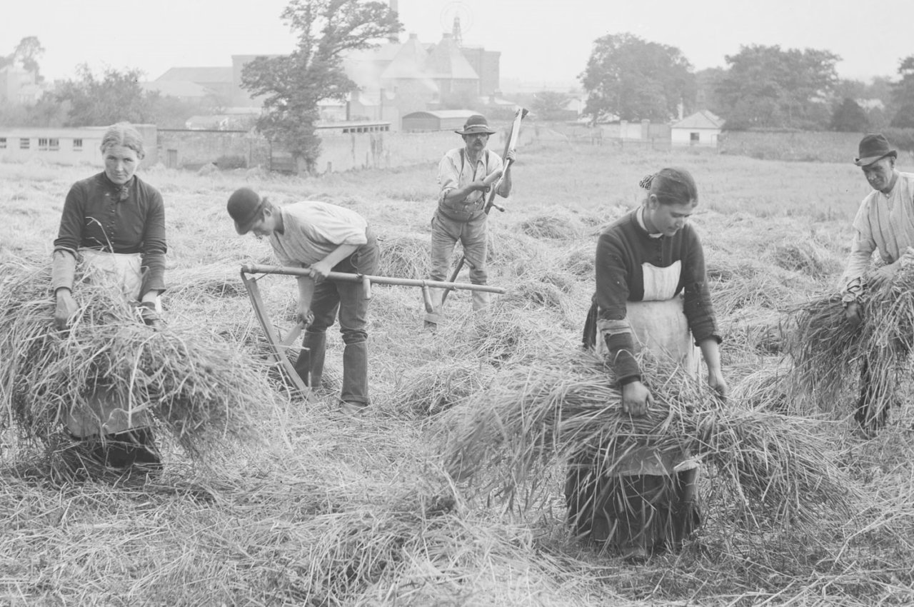Women at work harvesting with men in ca. 1897